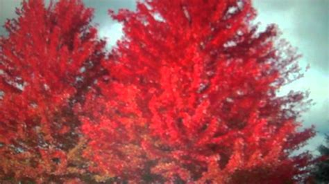 trees for sale cheap fast growing trees for sale cheap 4 25 at tn tree nursery