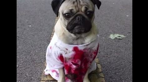 dead pug doug the pug makes a scary in quot the walking dead quot pug edition