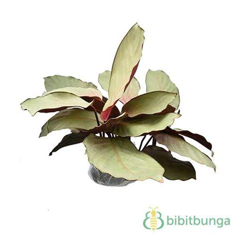 tanaman calathea silver plate bibitbunga