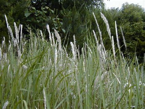 Herbilogy Cogon Grass Alang Alang imperata brasiliensis i cylindrica
