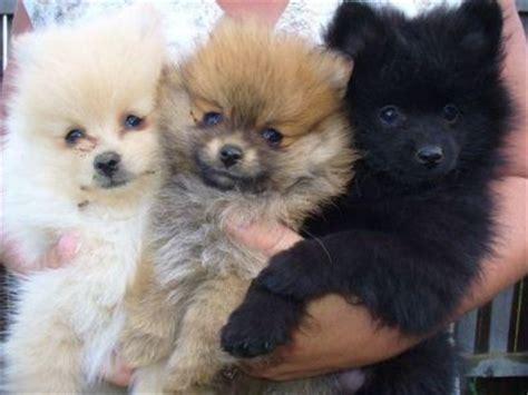 pomeranian puppies gold coast tiny micro teacup pomeranian puppies available now