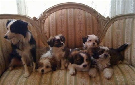 how big does a teacup shih tzu get big do teacup australian shepherds get australian shepherd tips australian shepherd tips