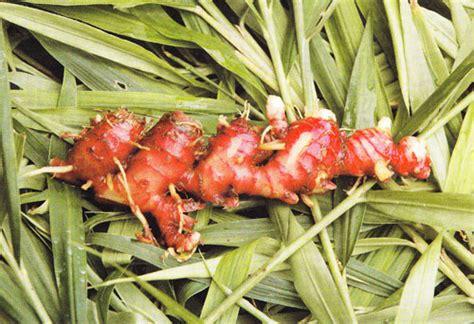 Jahe Merah 1kg 10 obat batuk tradisional paling manjur top10magz