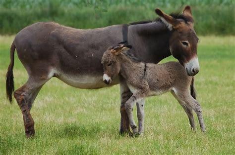 imagenes de animales lentos animales en peligro de extinci 243 n burros im 225 genes y fotos