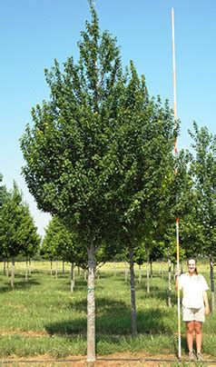 sunset maple tree root system acer rubrum franksred fork tree farm
