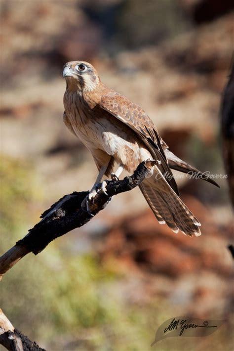 australian backyard birds 70 best images about australian native birds on pinterest