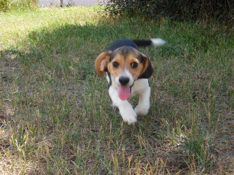 miniature beagle puppies new litter of pocket beagle puppies just born tiny beagles miniature pocket beagle