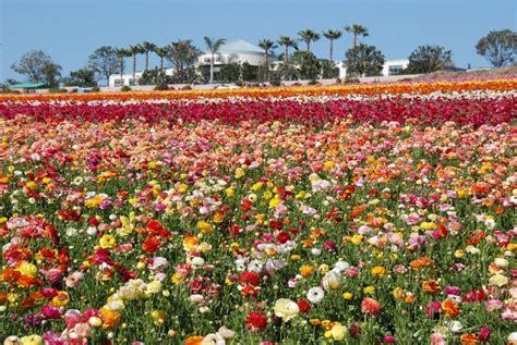 The Flower Fields At Carlsbad Ranch Visit Carlsbad Wedding Flowers San Diego