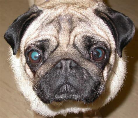 pk in pugs menyelidiki tipe penyakit mata pada anjing okdogi