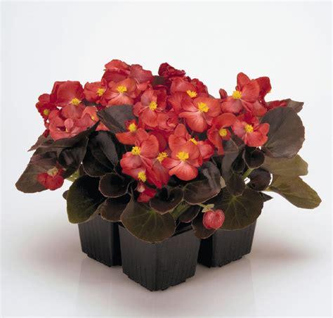 begonia semperflorens nightlife red annual benary