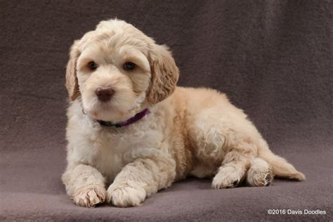mini doodle atlanta puppies for sale labradoodle miniature medium