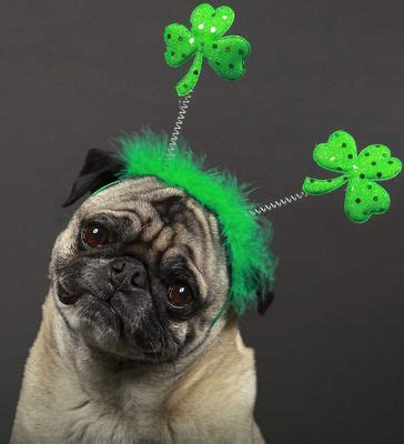 st patricks day pug 1000 images about st s day dogs on scottie dogs photos