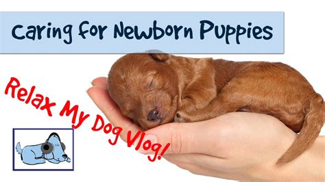 how to care for a puppy how to care for newborn puppies caring for a litter of puppies healthvlog04