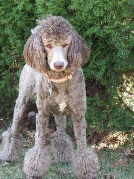 Eye Phantom Grey poodle colors
