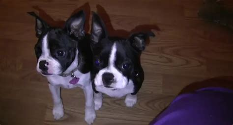 boston terrier puppies for adoption bosart boston terriers for adoption breeds picture