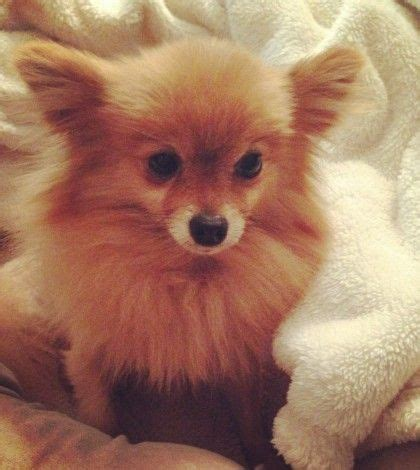 rescue a pomeranian best 20 pomeranian rescue ideas on pomeranian puppies for free tiny