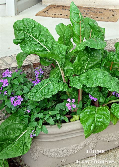 swiss chard container gardening containing my enthusiam for swiss chard house of hawthornes