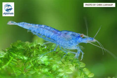Jelly Gar neocaridina davidi var blue jelly quot z 252 ndorfer aquaristik