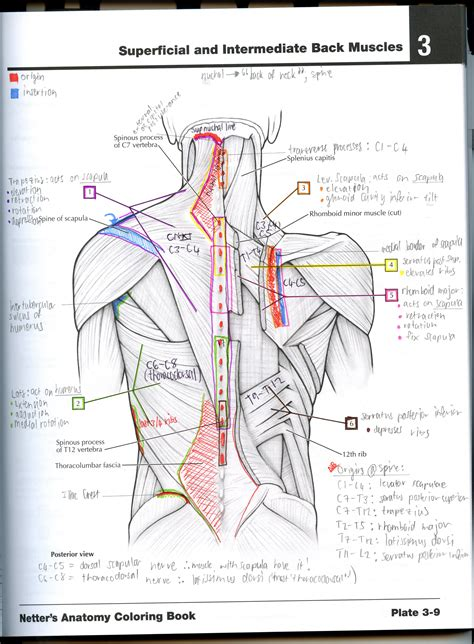 anatomy coloring book muscles free 77 anatomy coloring book anatomy