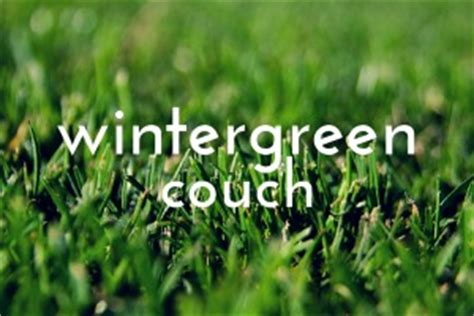 wintergreen couch grass wintergreen couch wild horse turf quality turf
