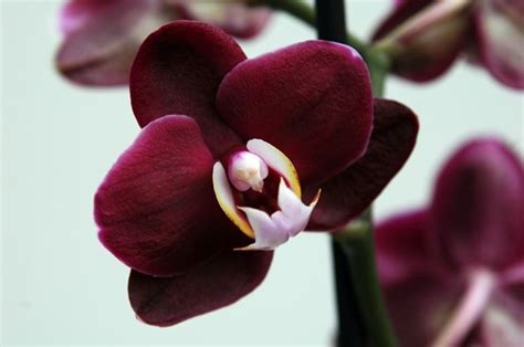orchidee phalaenopsis orchidee caratteristiche delle