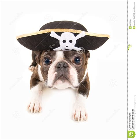 pirate puppy pirate stock photo image of mini purebred 8433096