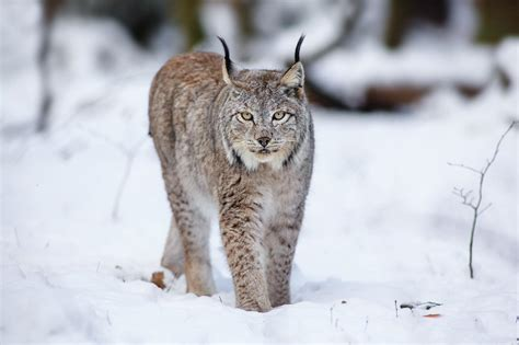 animals in the winter hd cats lynx animals winter snow hd desktop wallpaper