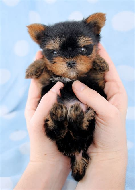 teacups puppies for sale teacup quot yorkie quot terrier puppies for sale teacups puppies boutique