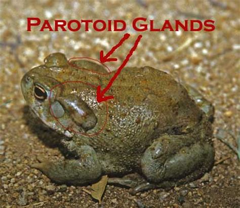 are toads poisonous to dogs toad safe information