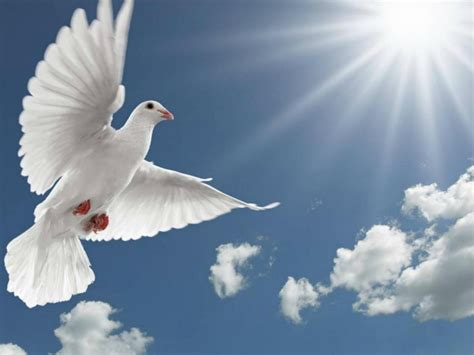 white pigeon flying spread wings sun rays hd desktop wallpaper wallpaperscom
