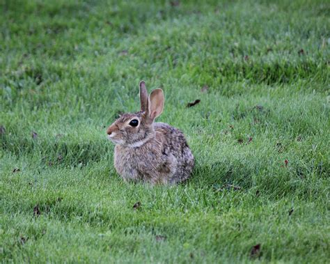 what to do with baby bunnies in backyard rabbits how to identify and get rid of rabbits garden