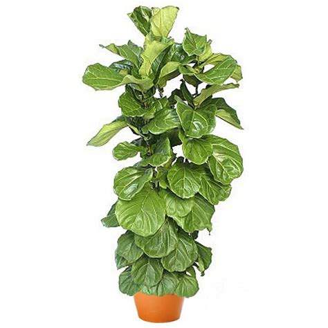 Homewarming Gift by Ficus Lyrata Bush Plant And Flower Delivery Manhattan