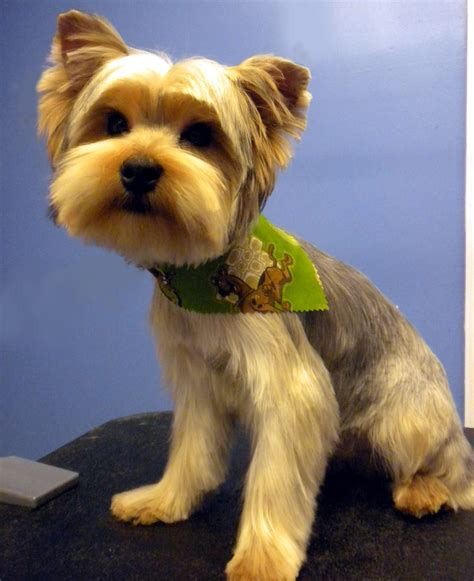 how to give a yorkie a puppy cut teddy yorkie grooming styles breeds picture