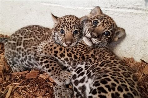 google imagenes de jaguares elmwood park zoo announces jaguar cubs names phillyvoice