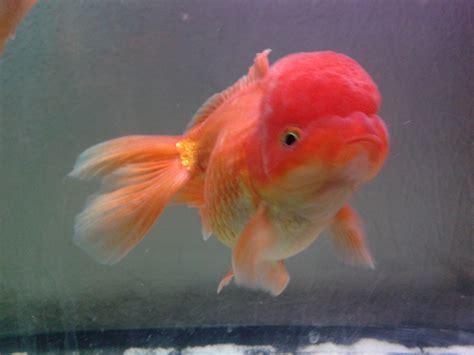 pesce testa di oranda testa di petpassion