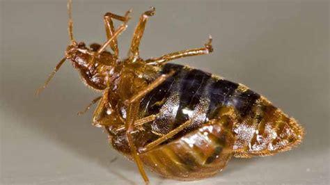 Diy Bed Bug Heat Treatment by Bed Bug Diy Treatments Tips Termites