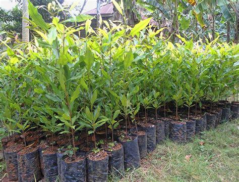 Jual Bibit Cengkeh Siap Tanam cara menanam cengkeh agar cepat berbuah belajar berkebun