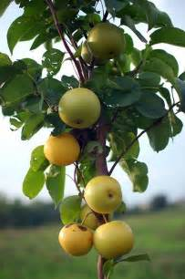 Asian Fruit Trees - 1000 images about asian pears on pinterest pear trees pears and fruit trees