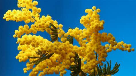 mimosa in vaso come coltivare la mimosa in vaso in 8 semplici mosse fito