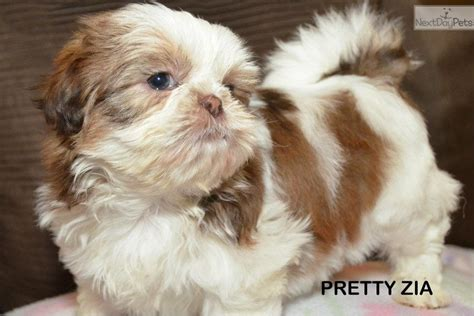 liver and white shih tzu puppies for sale shih tzu puppy for sale near arizona c2ed3b24 b981