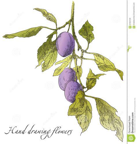 melo tavolo drawing plum on apple tree branch stock vector