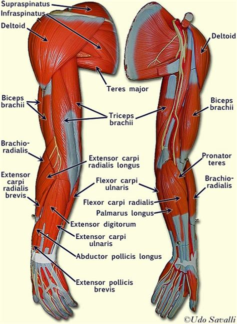 biceps diagram arm diagrams diagram site