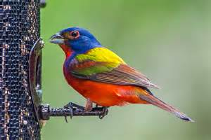sib bird of the week painted bunting sib