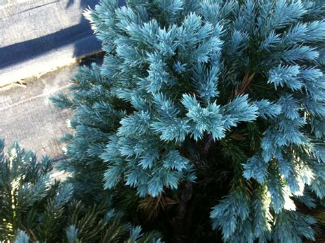 blue star juniper pics about space