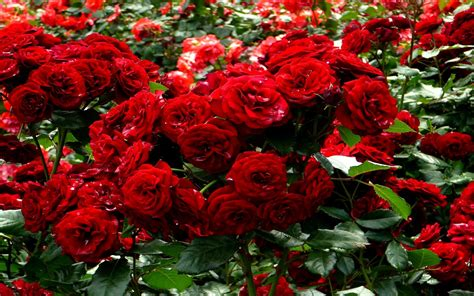 backyard rose gardens knumathise red rose flower garden wallpaper images