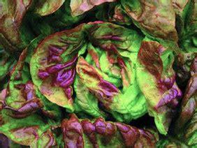 yugoslavian red butterhead bibb butterhead lettuce