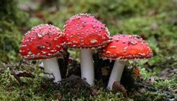 makalah membuat oncom contoh makalah biologi tentang jamur ciri ciri jamur