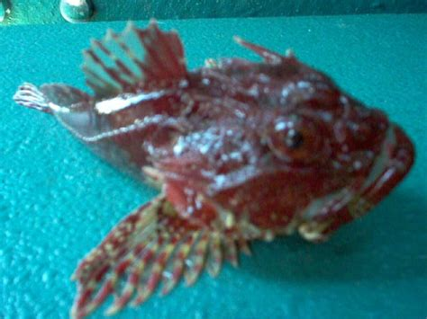 Fish L by Scorpion Fish Fishing Photos In The Bristol Channel