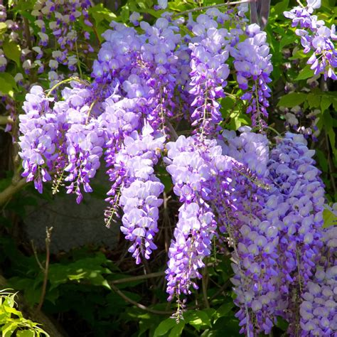 wisteria flower flower fridays wisteria wondrance coaching blog