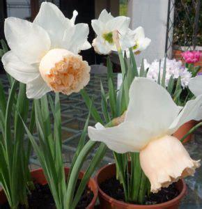 fiori invernali da vaso 10 fiori da balcone invernali